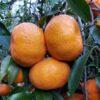Mandarini qualità Avana
