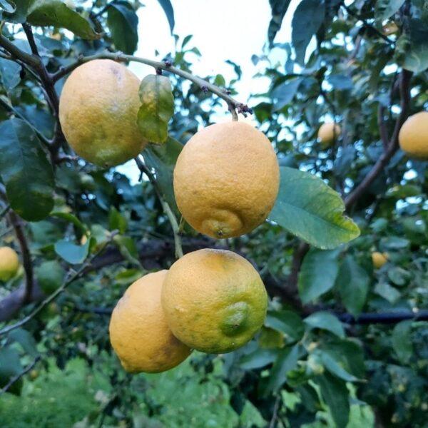 Limoni Zagara Bianca