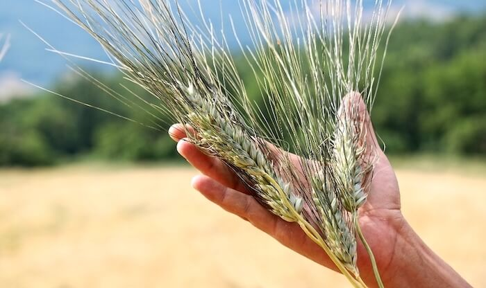 grano duro saragolla